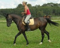 Horse for sale, bombproof, doctile, training